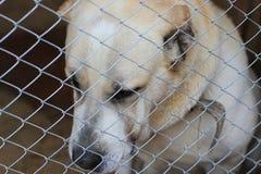 Central Asian Shepherd Dog (Alabai) Stock Photos