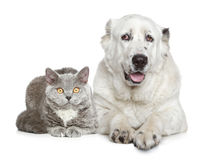 Central Asian Shepherd Dog and beautiful cat Stock Images