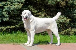 Central Asian Shepherd Dog looks aside. royalty free stock photography