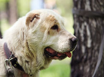 Central Asian Shepherd Dog. In the park Stock Photo