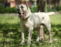 Central Asian Shepherd Dog. In the park Royalty Free Stock Images