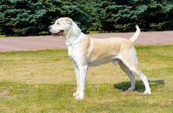 Central Asian Shepherd Dog profile. stock image