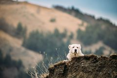 Central Asian Shepherd Dog Resting Outdoor In Mountains Of Cauca. Sus. Alabai - An Ancient Breed From Regions Of Central Asia. Used As Shepherds, As Well As To royalty free stock photos