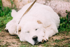 Central Asian Shepherd Dog Sleeping Outdoor. Royalty Free Stock Photography