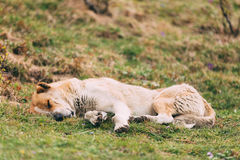 Central Asian Shepherd Dog Sleeping Outdoor. Stock Photos