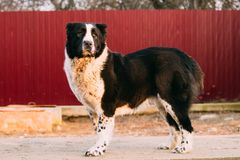 Central Asian Shepherd Dog Standing In Village Yard. Alabai Dog. Central Asian Shepherd Dog Standing In Village Yard. Alabai - An Ancient Breed From The Regions stock photo