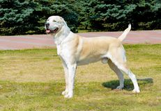Central Asian Shepherd Dog looks aside. stock images