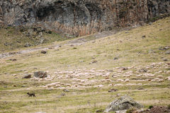 Central Asian Shepherd Dog Tending Sheep In The Mountains Of Geo Stock Photography