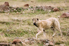 Central Asian Shepherd Dog Tending Sheep In The Mountains Of Georgia. Alabai Royalty Free Stock Photos