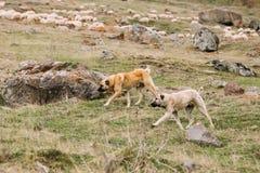 Central Asian Shepherd Dog Tending Sheep In The Mountains Of Georgia. Alabai Stock Photos
