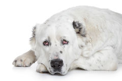 Central Asian Shepherd Dog on white background Royalty Free Stock Image