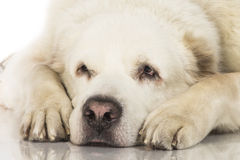 Central Asian Shepherd Dog Stock Photo