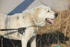 Central asian shepherd dog white color stock images