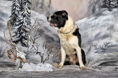 Central Asian Shepherd Dog Royalty Free Stock Photo
