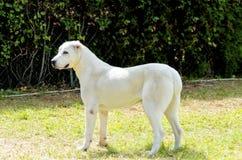 Central Asian Shepherd Dog Royalty Free Stock Image