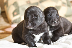 Central Asian Shepherd Puppies Royalty Free Stock Photo