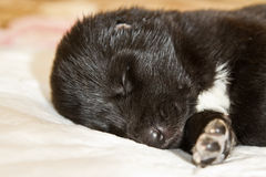 Central Asian Shepherd Puppies Royalty Free Stock Image