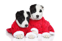 Central Asian Shepherd puppies in red clothes Stock Photos