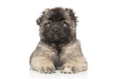 Central Asian Shepherd puppy Royalty Free Stock Photo
