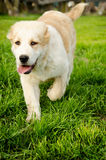 Central Asian Shepherd  Puppy Stock Images