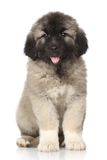 Central Asian Shepherd puppy Royalty Free Stock Images
