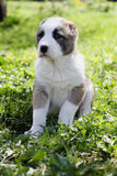 Central Asian Shepherd puppy in summer time Stock Photography