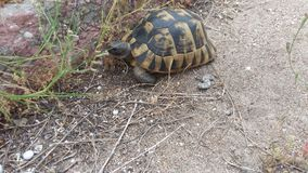 Central Asian species - land tortoise. Mediterranean reptile, a large turtle sits on the asphaltn Stock Image