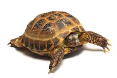 Central Asian tortoise (Agrionemys horsfieldii) Stock Image