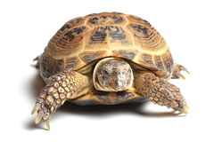 Central Asian tortoise (Agrionemys horsfieldii) on white Royalty Free Stock Photo