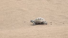 Central Asian tortoise 50p stock footage