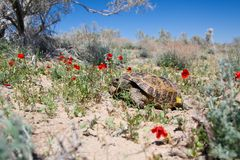 Central Asian tortoise among poppies Stock Photo