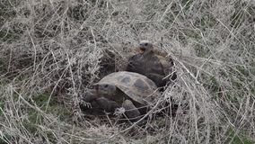 Central Asian tortoise. Reproduction 50p stock video