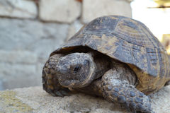Central Asian tortoise. Turtle rests on a stone Stock Images