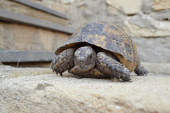 Central Asian tortoise. Turtle rests on a stone Royalty Free Stock Photos