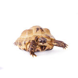 Central Asian tortoise on white background Royalty Free Stock Photo