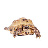 Central Asian tortoise on white background Royalty Free Stock Image