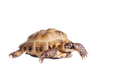 Central Asian tortoise on white background Stock Photos