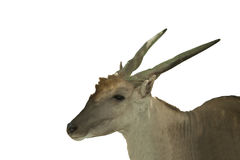 Central Asian wild deer. On white background Stock Images