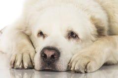 Central asiatisk herde Dog Arkivfoto