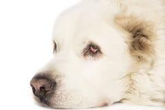Central asiatisk herde Dog Arkivbild