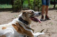 Central asiatisk herde Dog Alabai på den utbildande platsen Vänta på starten av utbildning royaltyfri fotografi