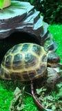 Central asiatisk liten sköldpadda nära förlagemataren royaltyfri fotografi