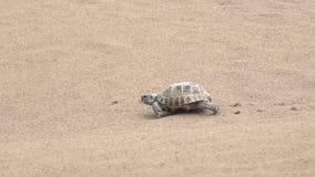 Central asiatisk sköldpadda 50p arkivfilmer