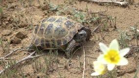 Central asiatisk sköldpadda 50p stock video