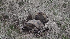 Central asiatisk sköldpadda Reproduktion 50p stock video
