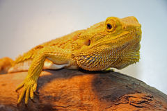 Central Bearded Dragon Stock Photos