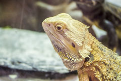 Central Bearded Dragon. Pogona vitticeps, the central (or inland) bearded dragon, is a species of agamid lizard occurring in a wide range of arid to semiarid Royalty Free Stock Photography