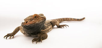 Central bearded dragon Stock Image