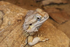 Central bearded dragon. Australian agamid lizard. Pogona vitticeps Royalty Free Stock Photo