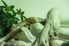 Central bearded dragon at Bioparco Stock Photography